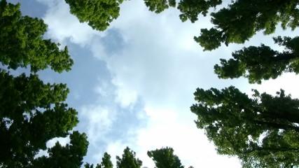 Circle of poplars