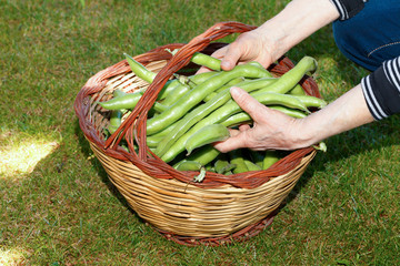 Hands Holding Broad Beans