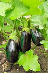 Three purple eggplants