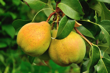 Two pears  on the branch