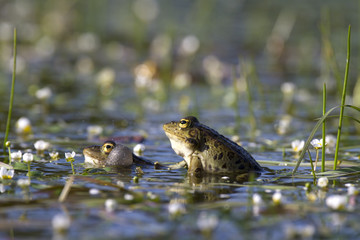 Mating frogs in spring pond