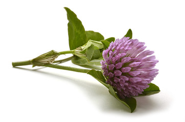 Trifolium Clover Trifoglio シャジクソウ属 Klee Клевер