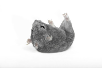 hamster during relaxation exercises