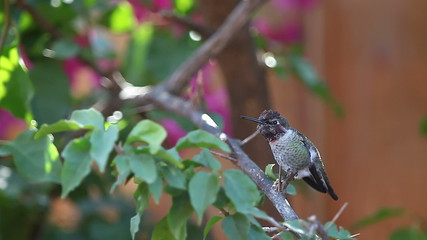 hummingbird makes his raspy call