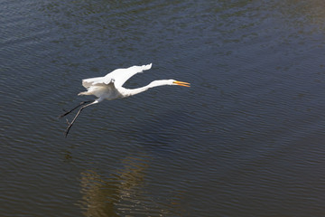 White Great Egret flying