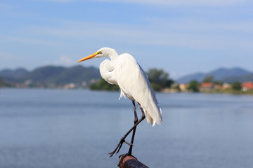 White Great Egret on Lake