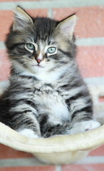 brown puppy of cat, siberian breed
