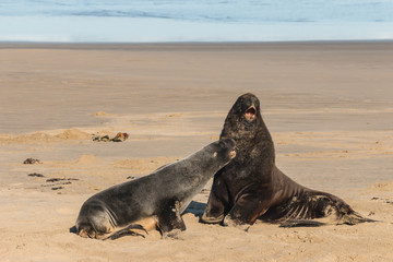 courting Hooker's sea lions