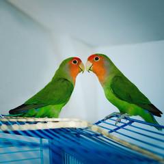 Два влюбленных попугая