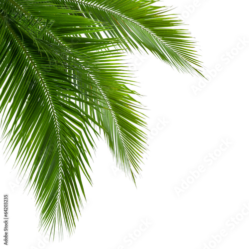 Staande foto Bomen Leaves of coconut tree isolated on white background, clipping pa