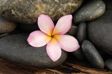 frangipani flower and nature stones on driftwood