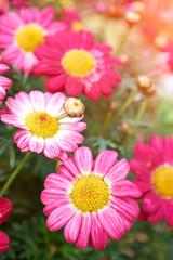 Daisy flower - Spring flower close up