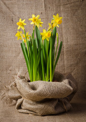 Beautiful daffodils in pot on burlap background