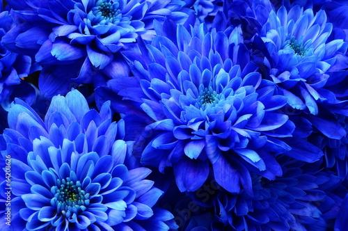 obraz lub plakat Makro niebieski kwiat aster