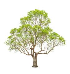 Irvingia malayana also known as Wild Almond tree