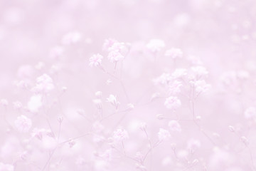 light pink floral background of gypsophila paniculata