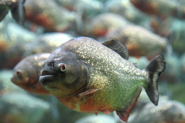 Red bellied piranha swimming underwater.