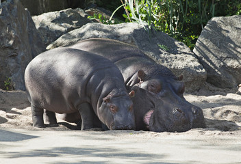 Two hippos, mother and child