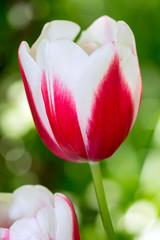Tulipano bianco e rosso