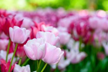 Tulipani tardivi rosa a fiore semplice
