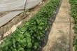 Ligne de fraisiers
