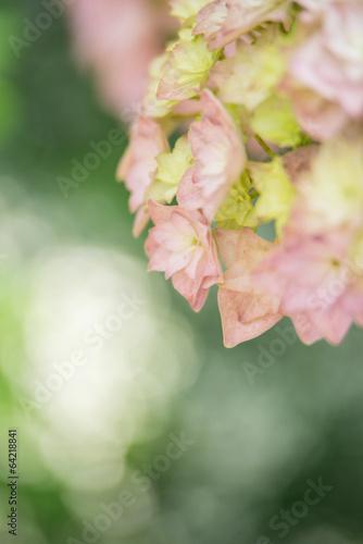Foto op Plexiglas Hydrangea ピンクの紫陽花