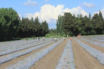 Récolte d'asperges