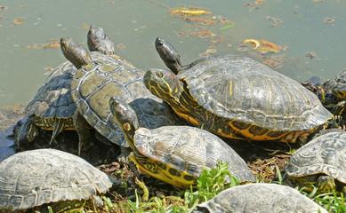 tartarughe acquatiche riposano al sole