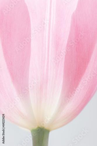 zarte rosa Tulpe