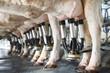 Leinwanddruck Bild - row of cows being milked