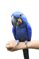 Hyacinth Macaw perching on human hand and eating sun flowers see