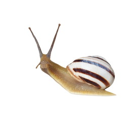Striped snail isolated on white, vineyard snail
