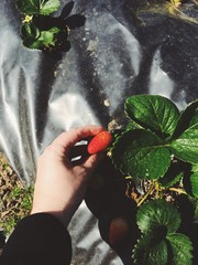 hand picking strawberry