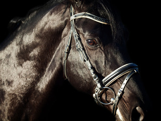 Portrait of  beautiful black breed horse in motion at black back