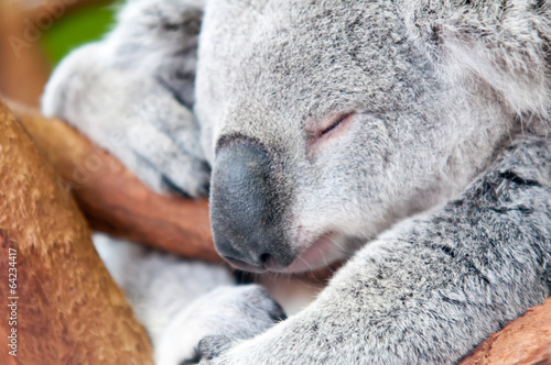 Fotobehang Koala adorable koala bear taking a nap sleeping on a tree
