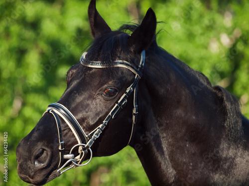 Papiers peints Chevaux Portrait of beautiful black breed horse in motion. close up