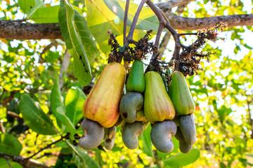 Cashew Tree