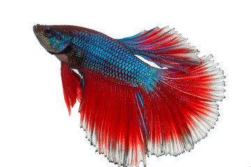 Siamese fighting fish , betta isolated with clipping path