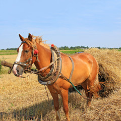 Transportation of hay by a cart