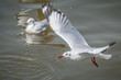 All seagulls birds migrate from northern region of Asia