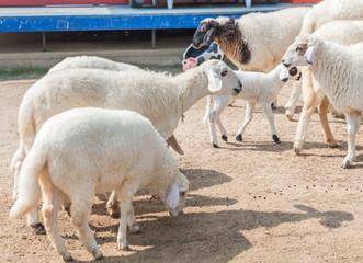 Group sheep