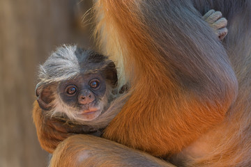 Baby Western Red Colobus Monkey cradled in its mother's arms