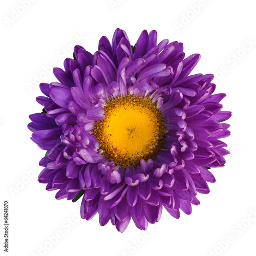 Papiers peints Marguerites Purple aster