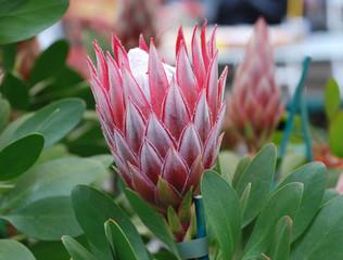 Protea Cynaroides Flower