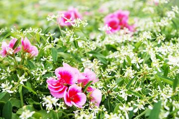 Schneeweißchen und Rosenrot - Pflanze des Jahres