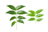 Siamese neem tree, Nim, Margosa, Quinine, Azadirachta indica A.