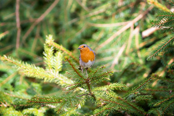 Red Robin perched on a pine twig