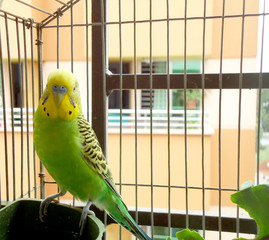 Cute budgerigar sitting inside a cage