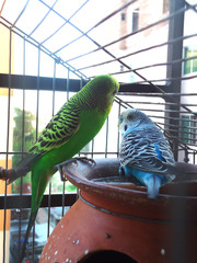 Cute budgerigars sitting inside a cage