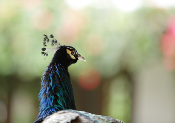 Closeup of beautiful peacock